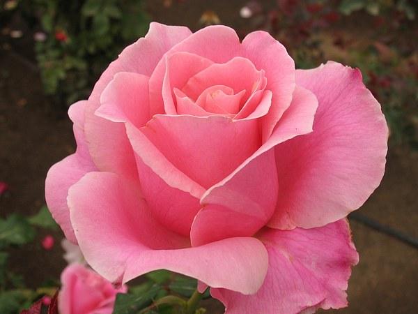Image result for pink rose of friendship